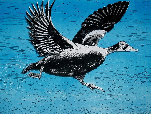 Eider Down.  Linoprints.birds