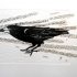 The Attentive Rook.  Linoprints.birds
